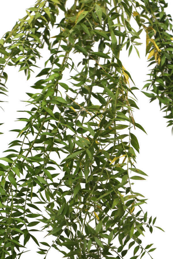 Şoklanmış Ruscus Aculeatus Kokina Naturel Açık Yeşil