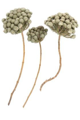 Yapay Çiçek Deposu - Doğal Brunia Çiçekli Branch Dal 3 Adet (Kod 622)
