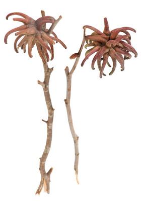 Yapay Çiçek Deposu - Doğal İthal Kurutulmuş Fıstık Dalı 2 Adet (Kod 611)