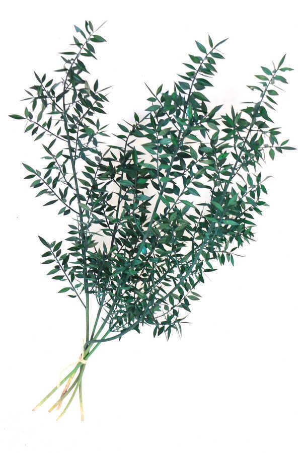 Şoklanmış Ruscus Aculeatus Kokina Mat Yeşil