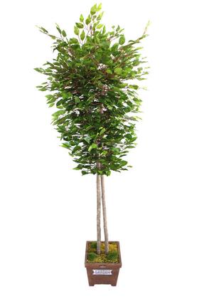 Yapay Çiçek Deposu - Yapay Ağaç 2 Gövdeli Benjamin Ağacı 190cm