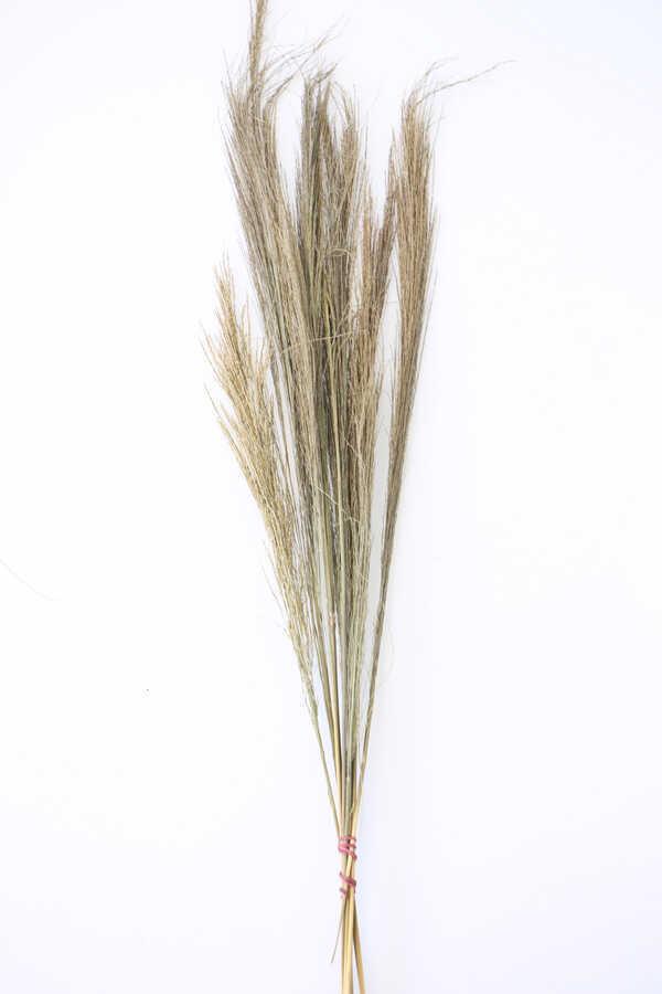 10lu Tropic Broom Grass 60 cm